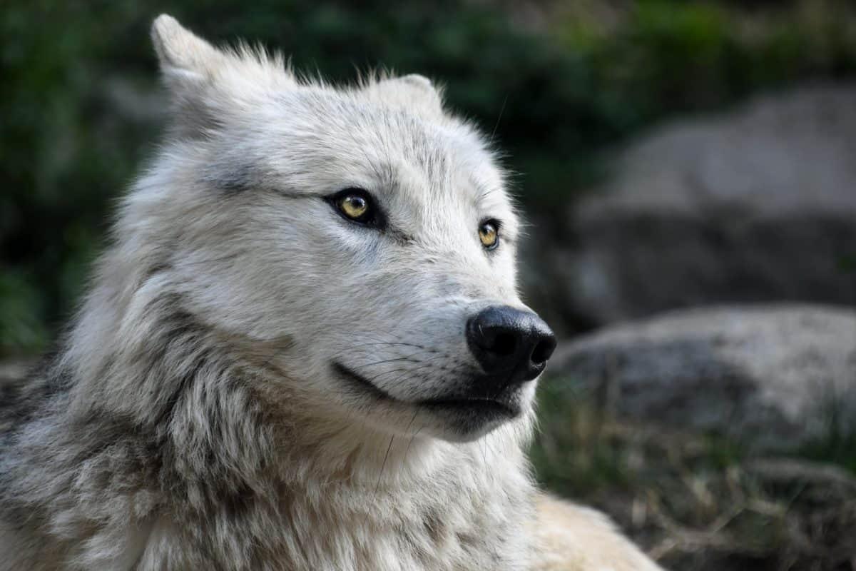 природа, бял вълк, главата, носа, Захарий, портрет, бяла, природа, хищник, хищник