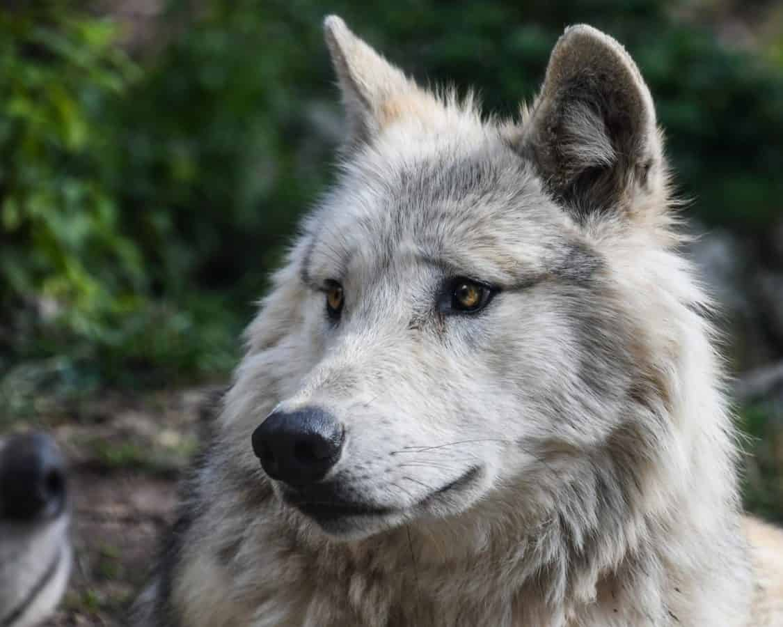 weißer Wolf, Tier, Porträt, weiß, Natur, Raubtier, Raubtier