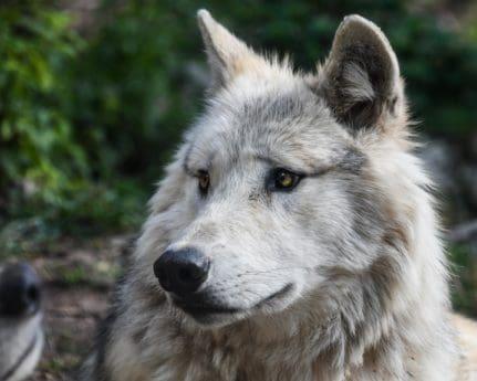 Bílý vlk, zvíře, portrét, bílá, příroda, predátor, masožravec
