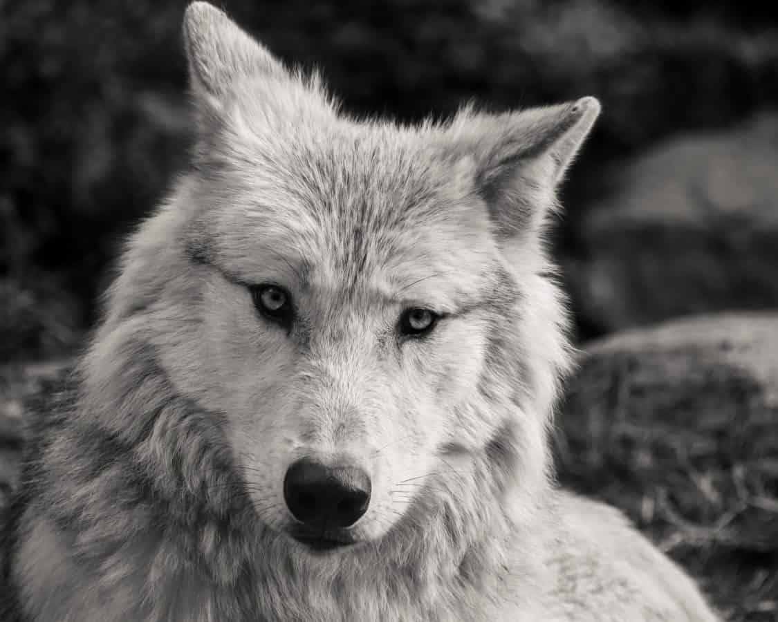 Bílý vlk, monochromatický, hlava, zvíře, bílá, příroda, predátor, masožravec
