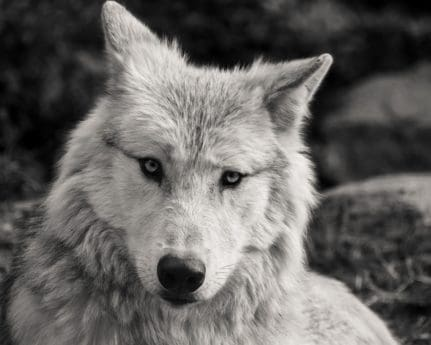 white wolf, monochrome, head, animal, white, nature, predator, carnivore