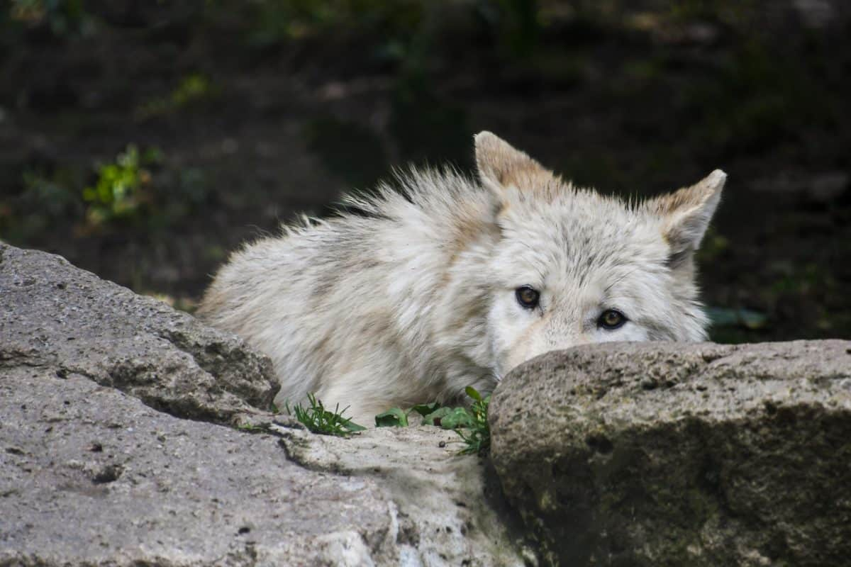 nature, wildlife, outdoor, animal, stone, white wolf
