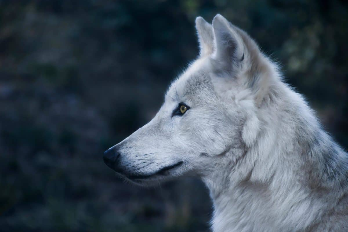 white wolf, profile, portrait, portrait, predator, head, fur, eye