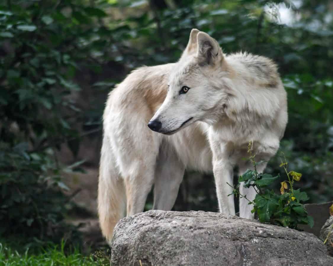 piedra, bosque, lobo blanco, depredador, animal, salvaje, vida silvestre, naturaleza