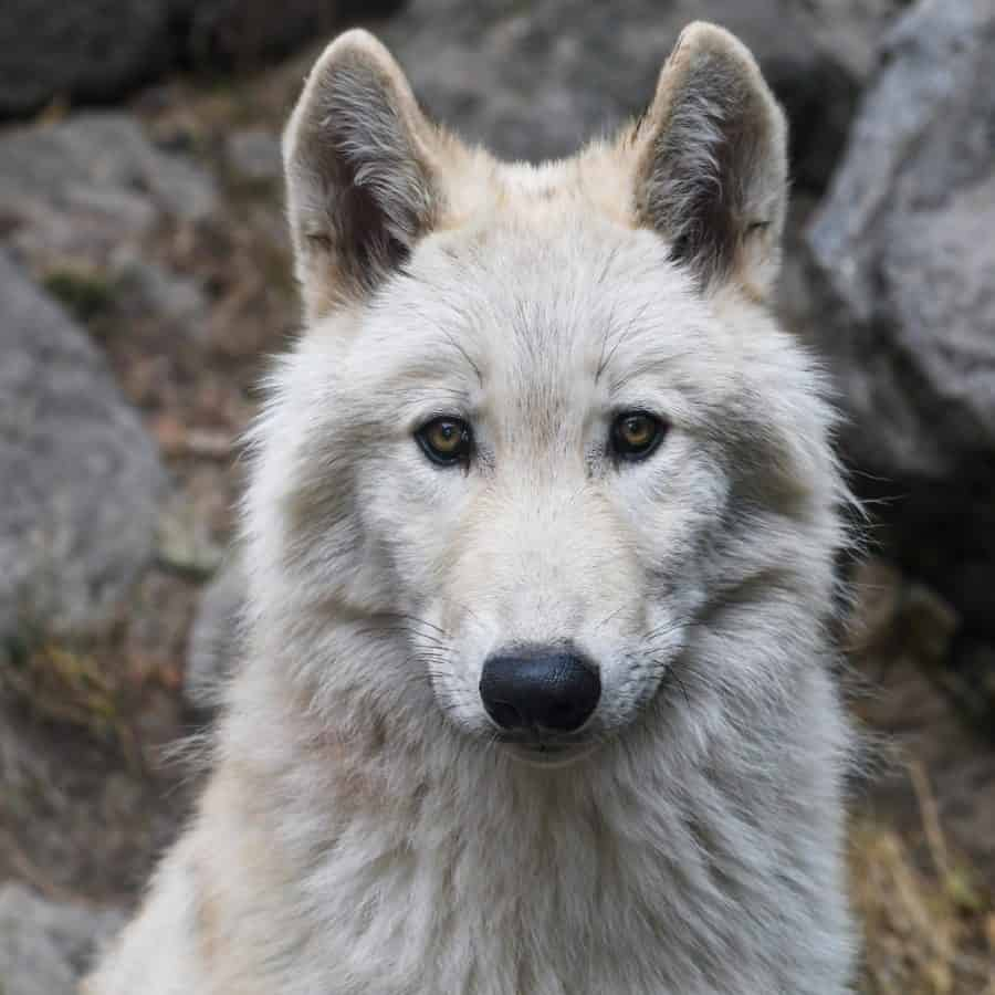 blanco salvaje, naturaleza, pelaje, fauna, lobo, animales, al aire libre