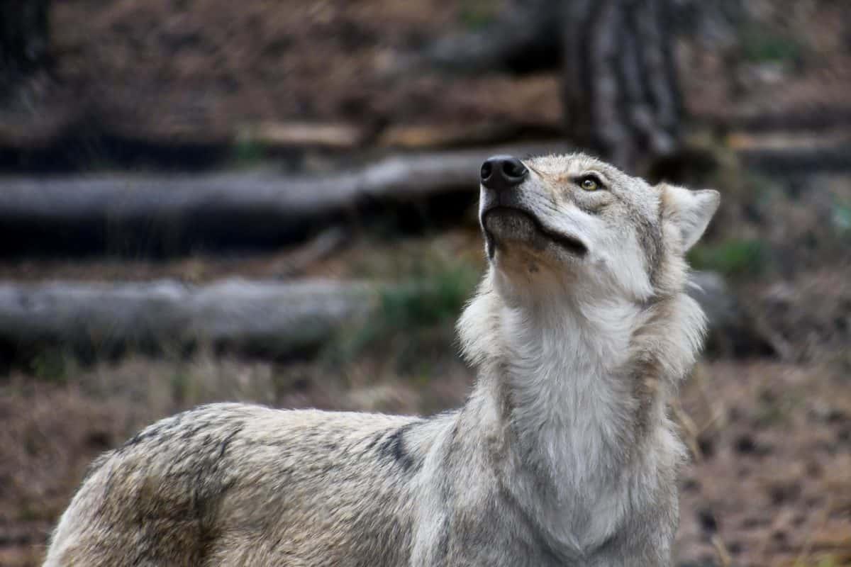 animal, salvaje, gris lobo, bosque, naturaleza, depredador, piel