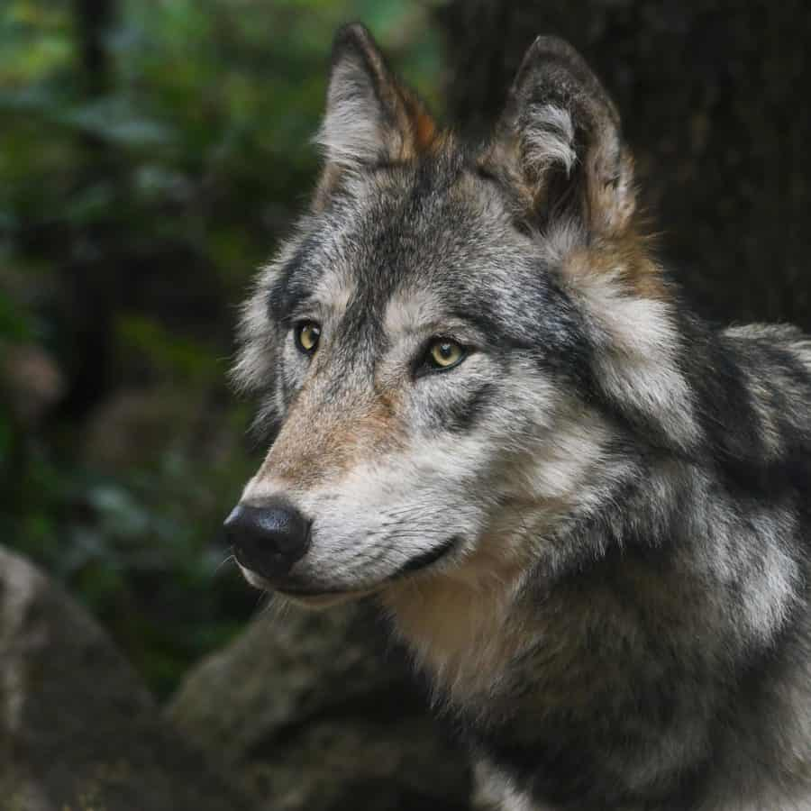 lupo di foresta, predatore, pelliccia, natura, fauna, animale, paesaggio, zoologia