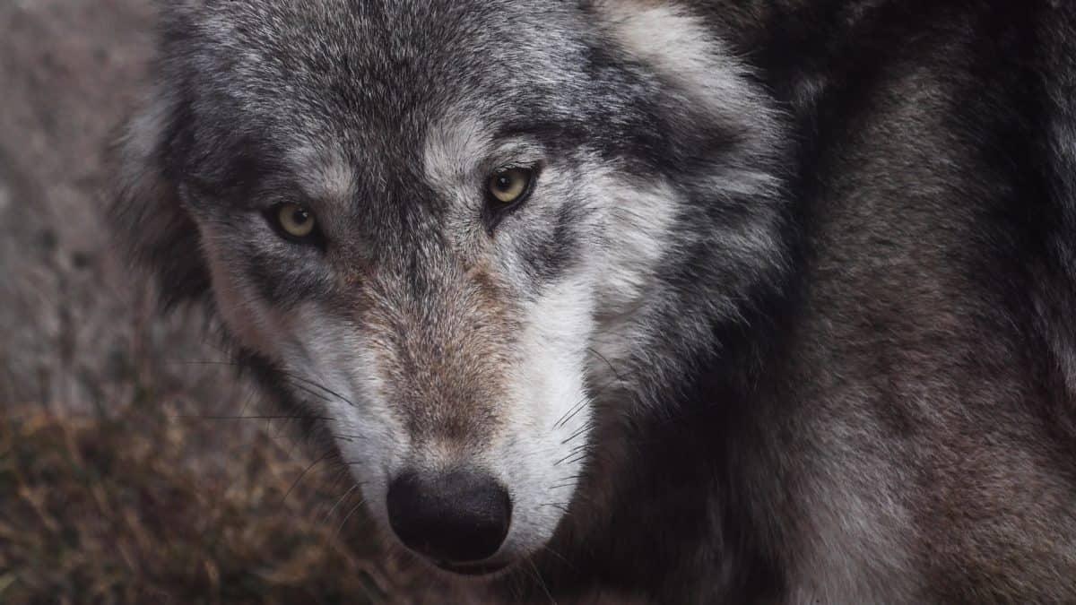 Wolf, Fell, Portrait, Tier, Tiere, wild, Auge