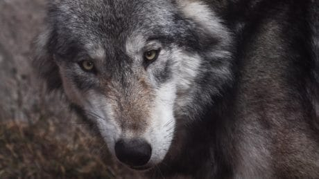 wolf, fur, portrait, animal, wildlife, wild, eye