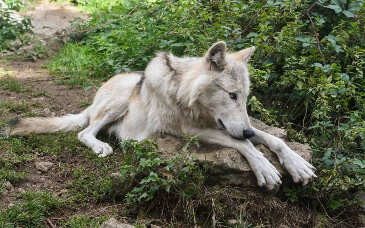 loup blanc, albino, animal, animaux sauvages, fourrure, predator, sauvage, nature