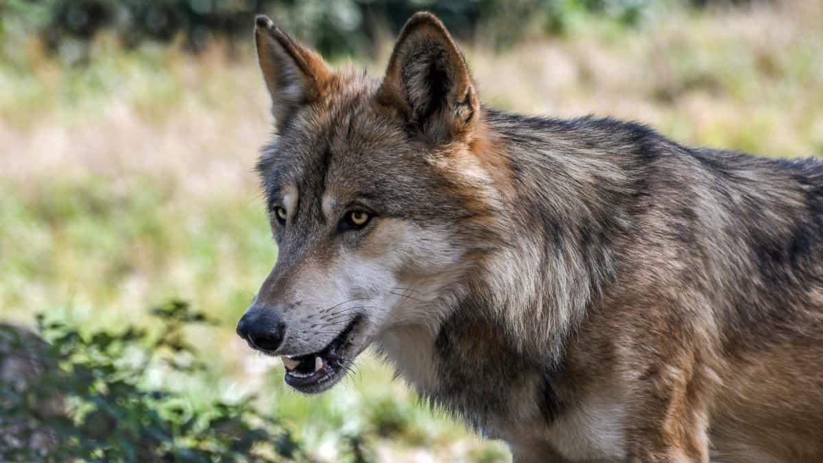 Wald-Wolf, Strauch, Rasen, Fleischfresser, Natur, Raubtier, Braun, Fell