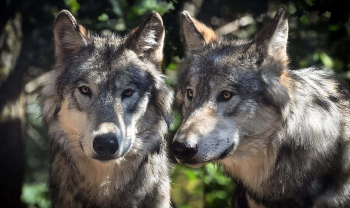 Wolfsrudel, Tier, Pelz, wild, outdoor