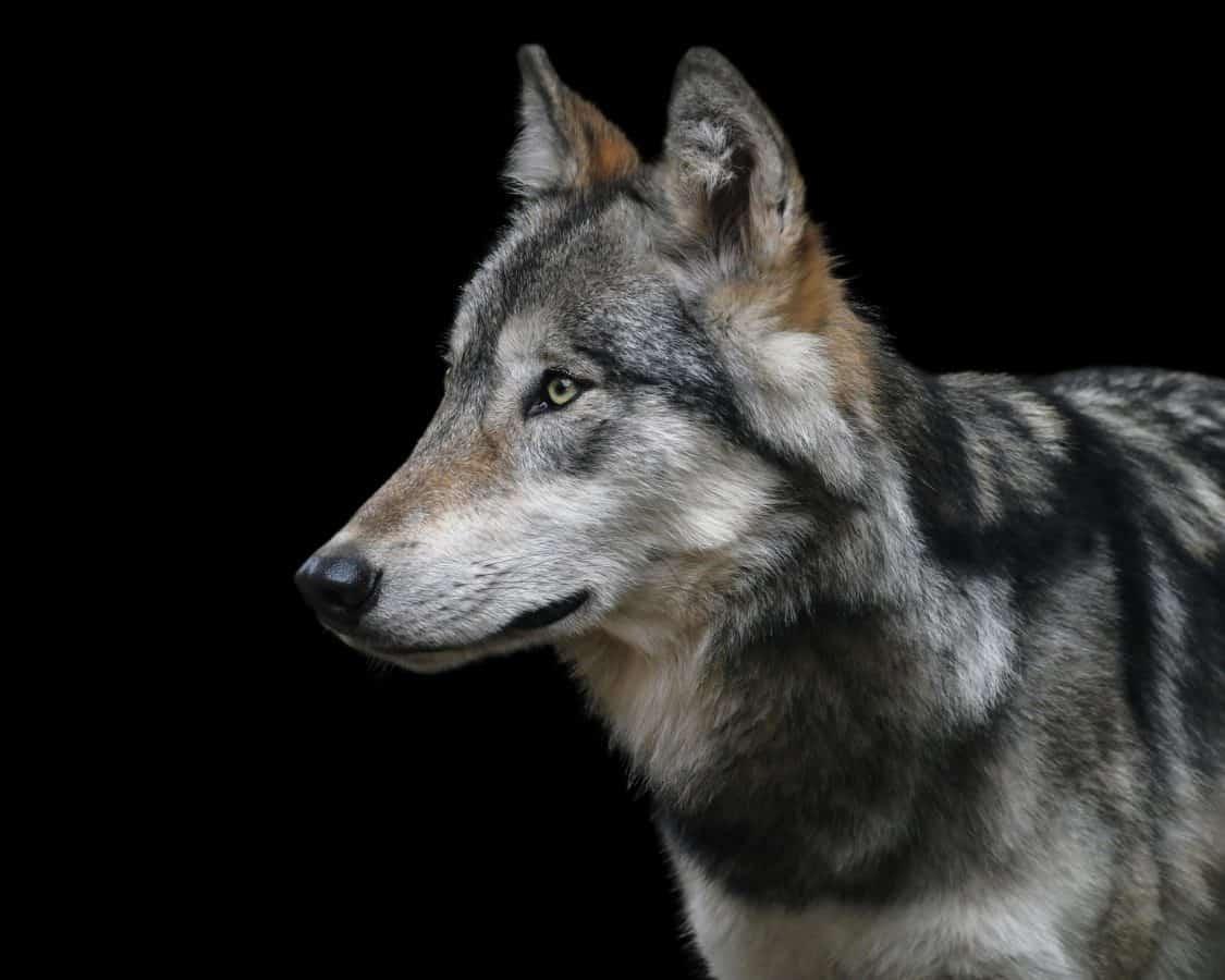 Loup gris, fourrure, animaux, portrait, oeil, tête