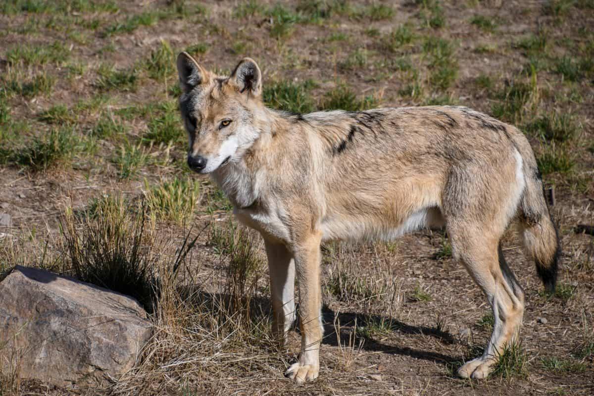 природата, див, дивата природа, хищник, вълк, кожа