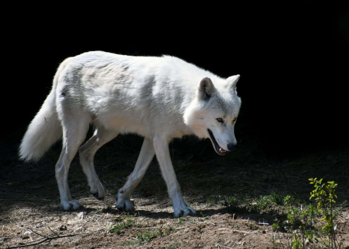 white wolf, natura, albino, fauna, animale, all'aperto, terra