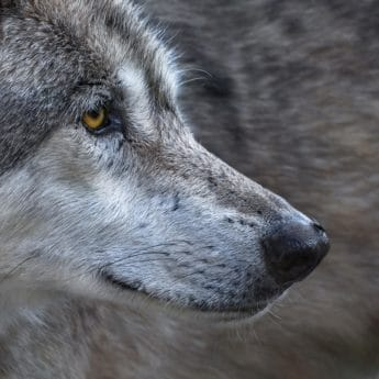 animal, fur, wildlife, eye, wild wolf, canine, portrait, nose