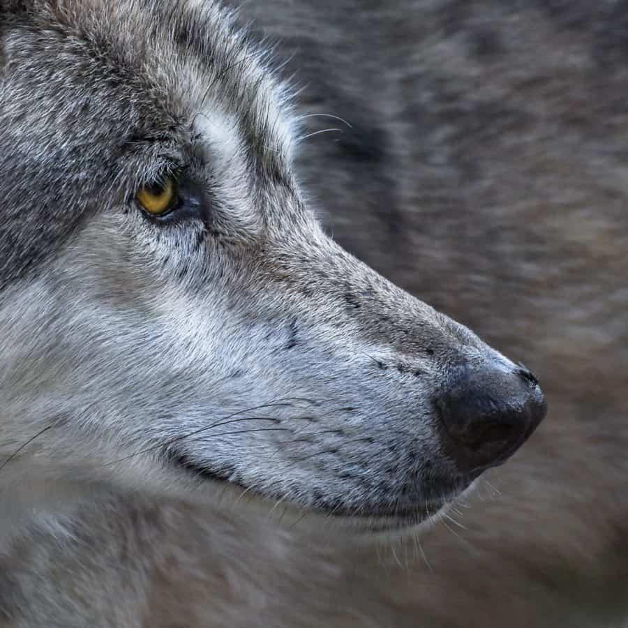 Tier, Pelz, Tierwelt, Auge, wilder Wolf, Hund, Porträt, Nase