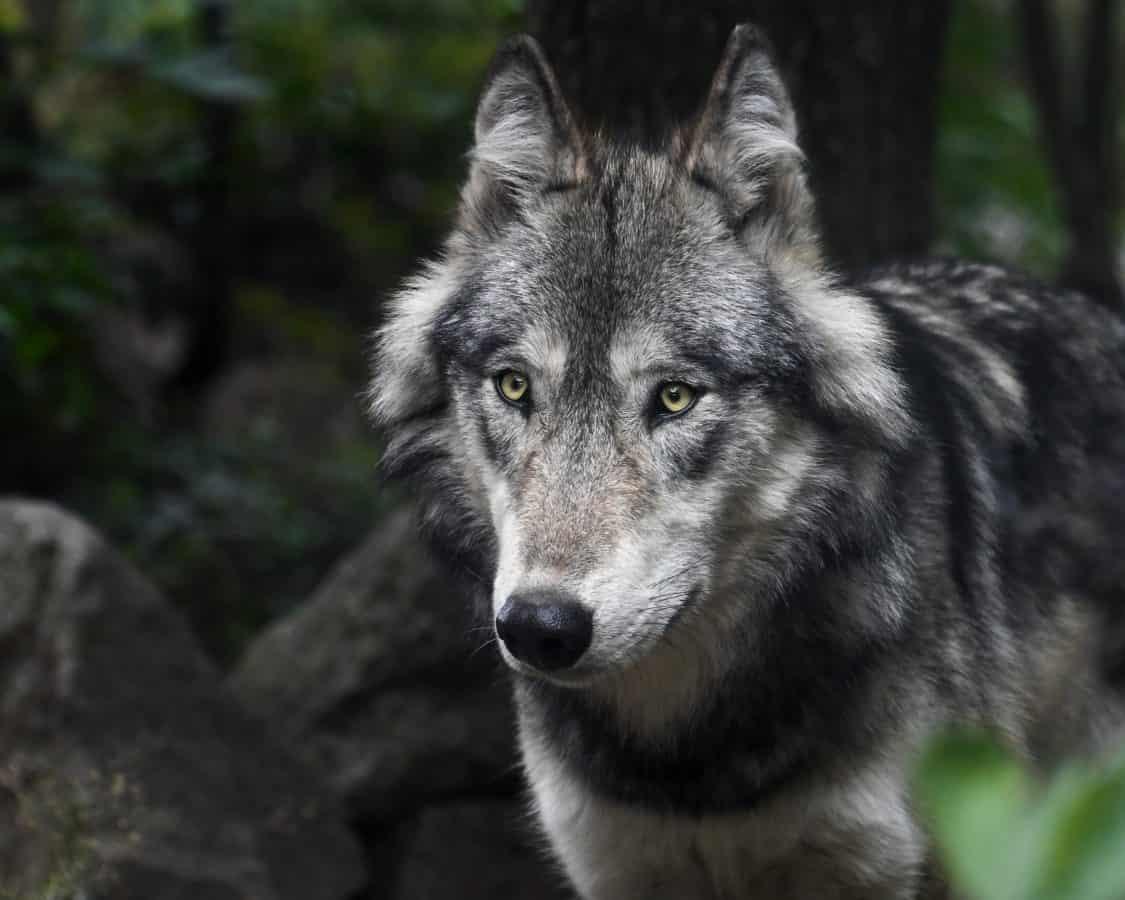 кожа, животно, сив вълк, дива природа, природа, портрет