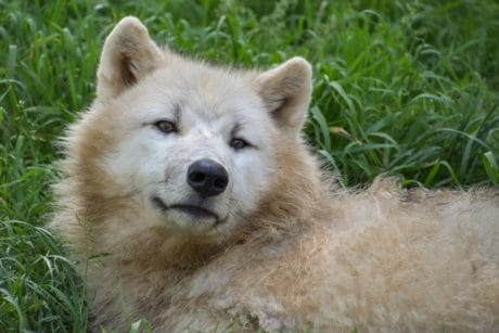 white wolf, albino, fur, grass, nature, animal, outdoor