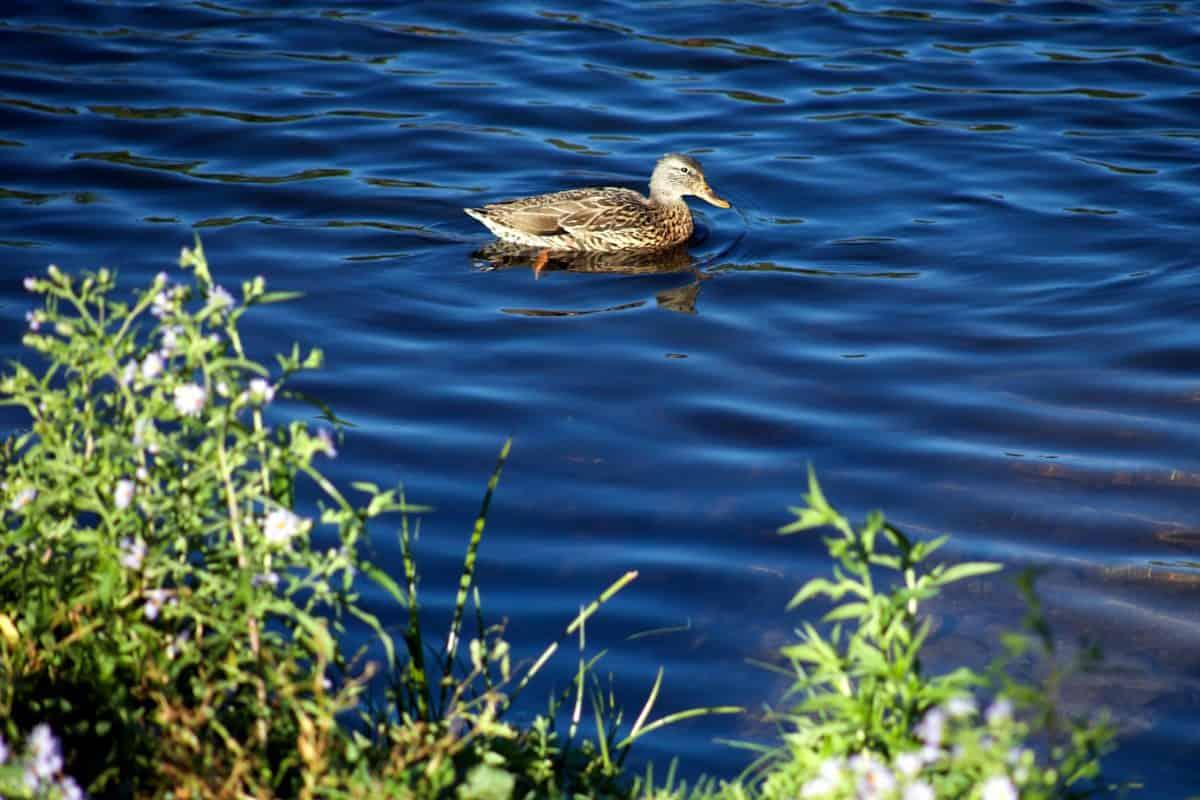 agua, naturaleza, pato, aves playeras, aves, vida silvestre, pico