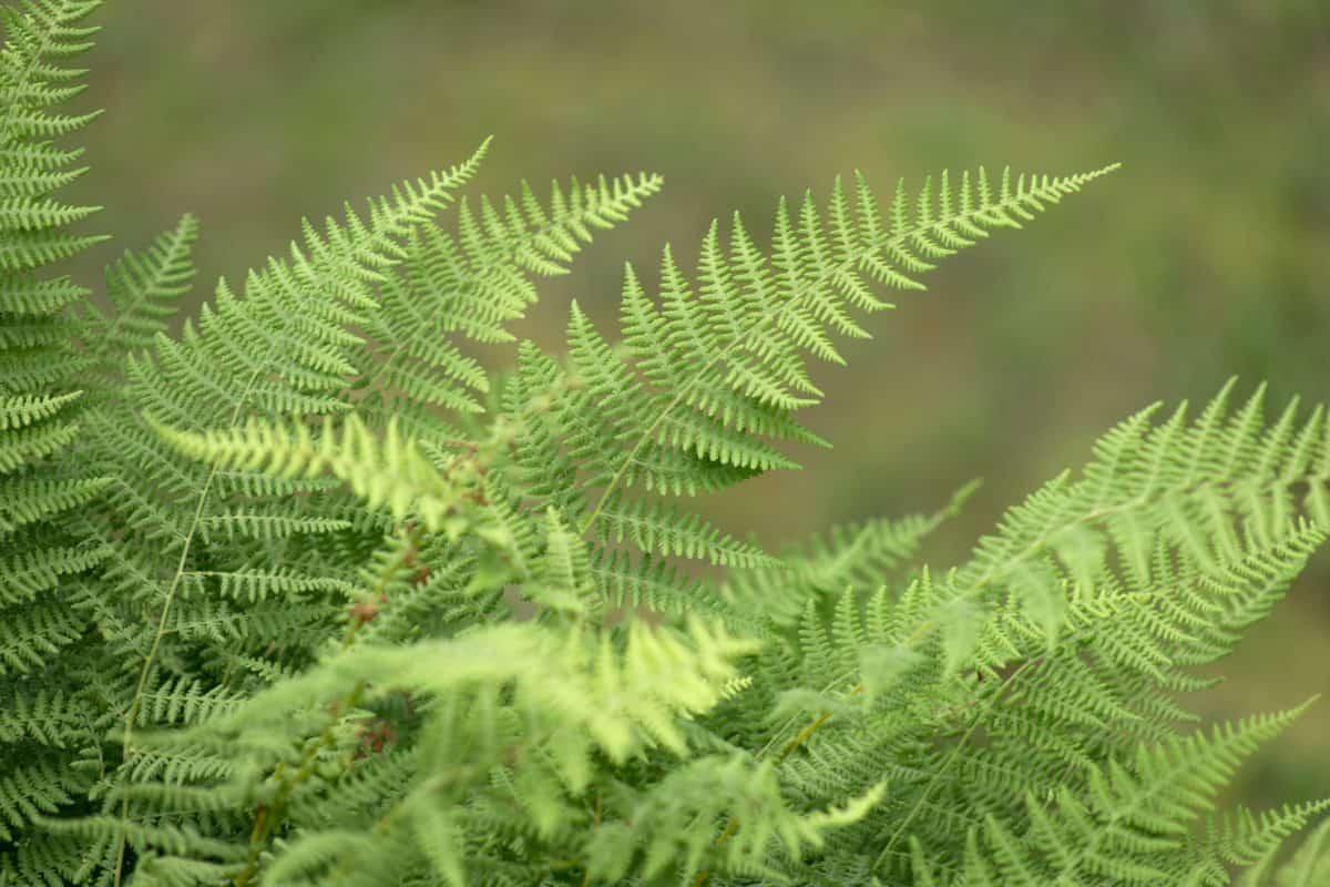 foglia verde, natura, legno, felce, estate, flora, pianta, albero, foresta