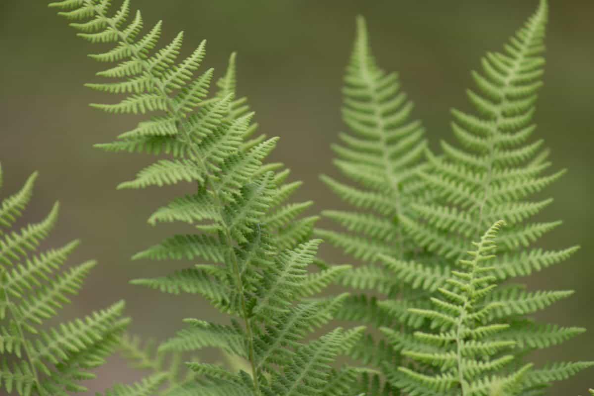 папрат, флора, листа, природа, растения, гора, дърво