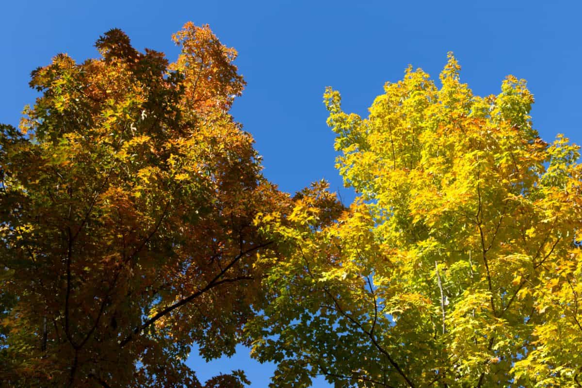tree, landscape, nature, leaf, wood, poplar, autumn, forest