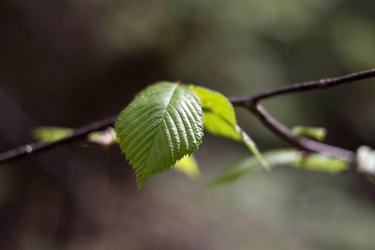 ramo, natura, flora, albero, foglia, pianta, linden, foresta