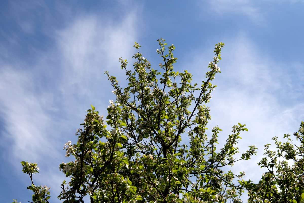 nature, été, arbre, ciel, feuille, peuplier, plante, branche, forêt