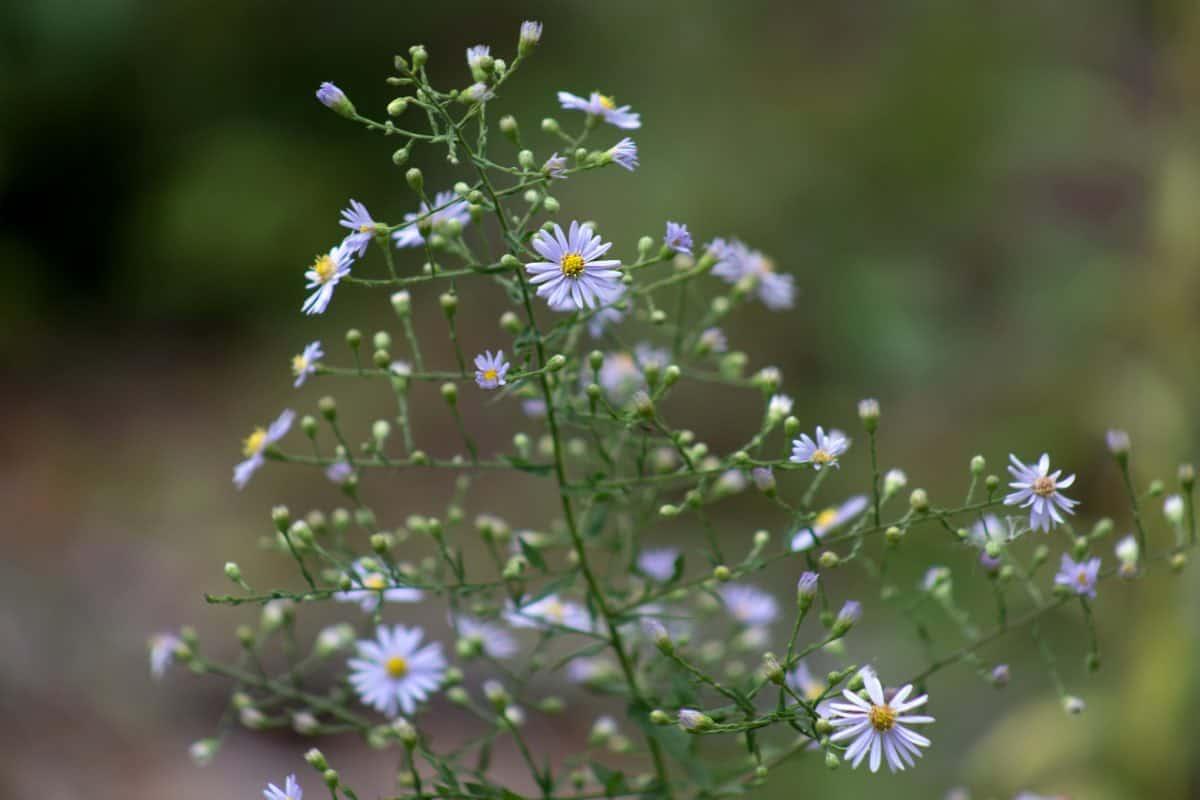 hage, ville blomster, naturen, blad, sommer, flora, urt, plante
