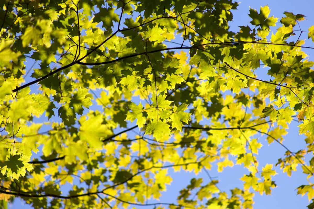 arbre, flore, feuille, branche, nature, plante, forêt, automne