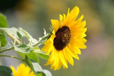 flora, flower, leaf, nature, summer, sunflower, plant, petal