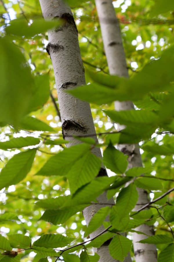 bouleau, arbre, environnement, feuille, nature, forêt, plante, extérieur
