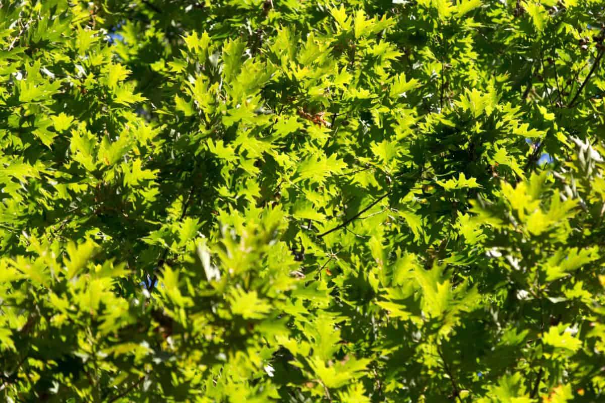 foglia, natura, ambiente, ramo, legno, flora, estate, albero
