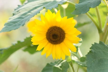 summer, leaf, nature, flora, sunflower, flower, field, agriculture