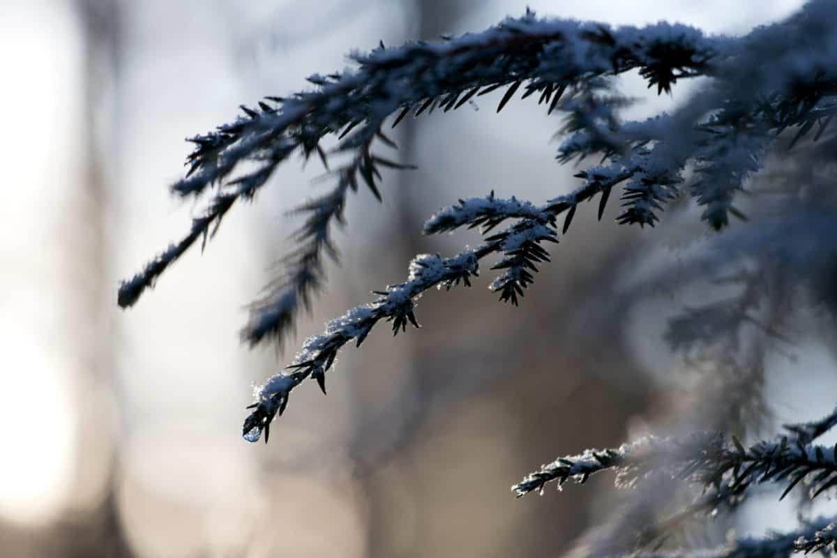 Winter, Schnee, Natur, Kokosnuss, Himmel, Baum, Nadelbaum, frost