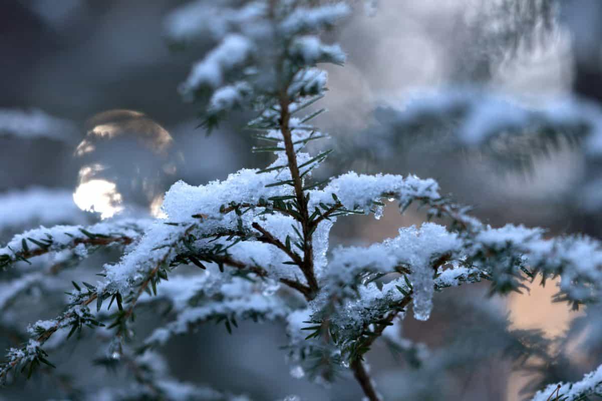 бор, природа, дървесина, иглолистни, зима, сняг, студ, измръзване, дърво