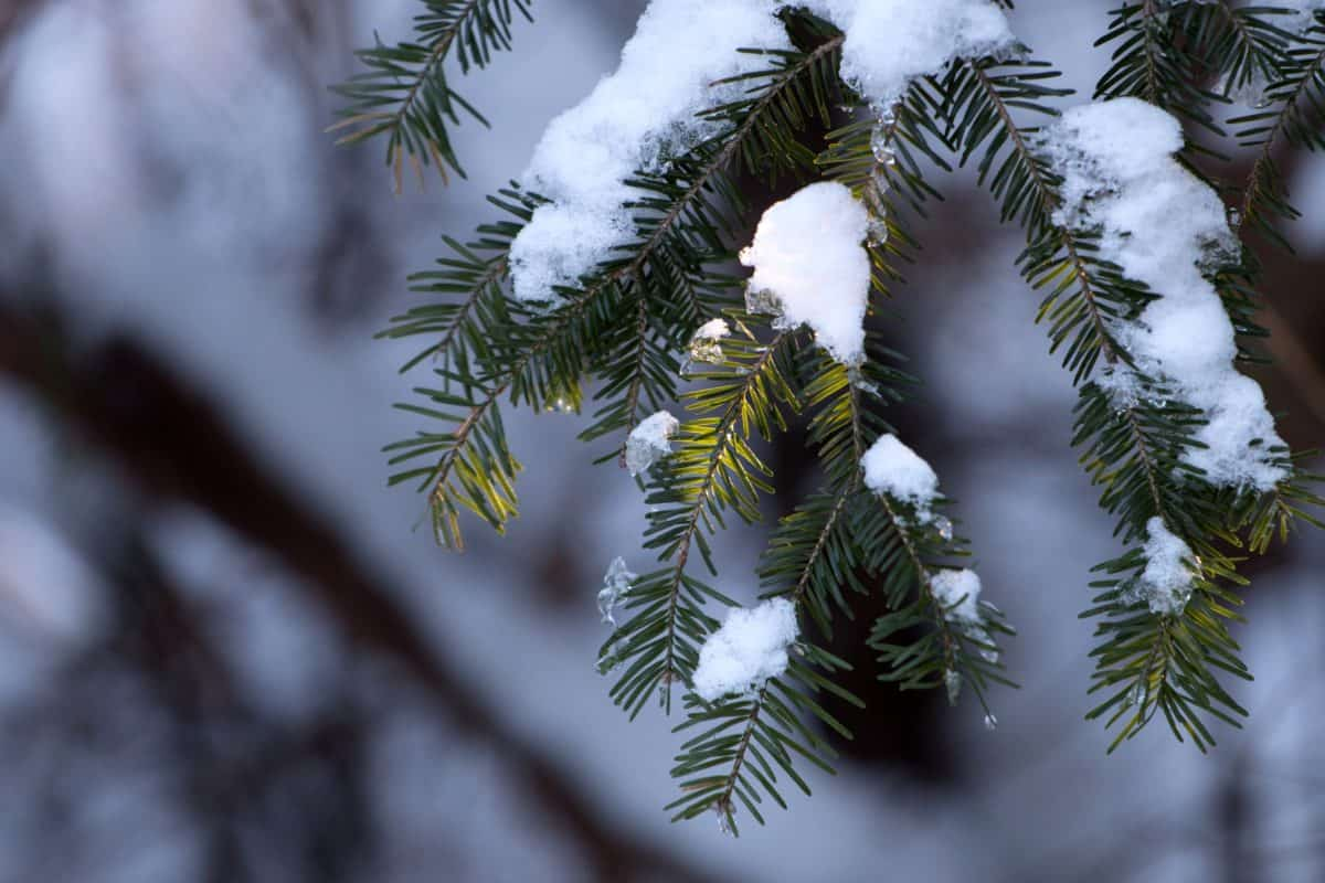 conifer, tree, winter, branch, evergreen, pine tree, plant