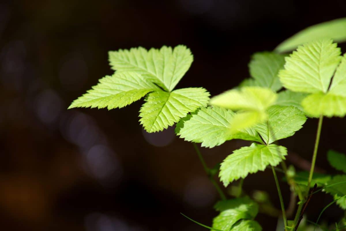 nature, flore, feuille, plante, arbre, ombre, forêt, herb, été