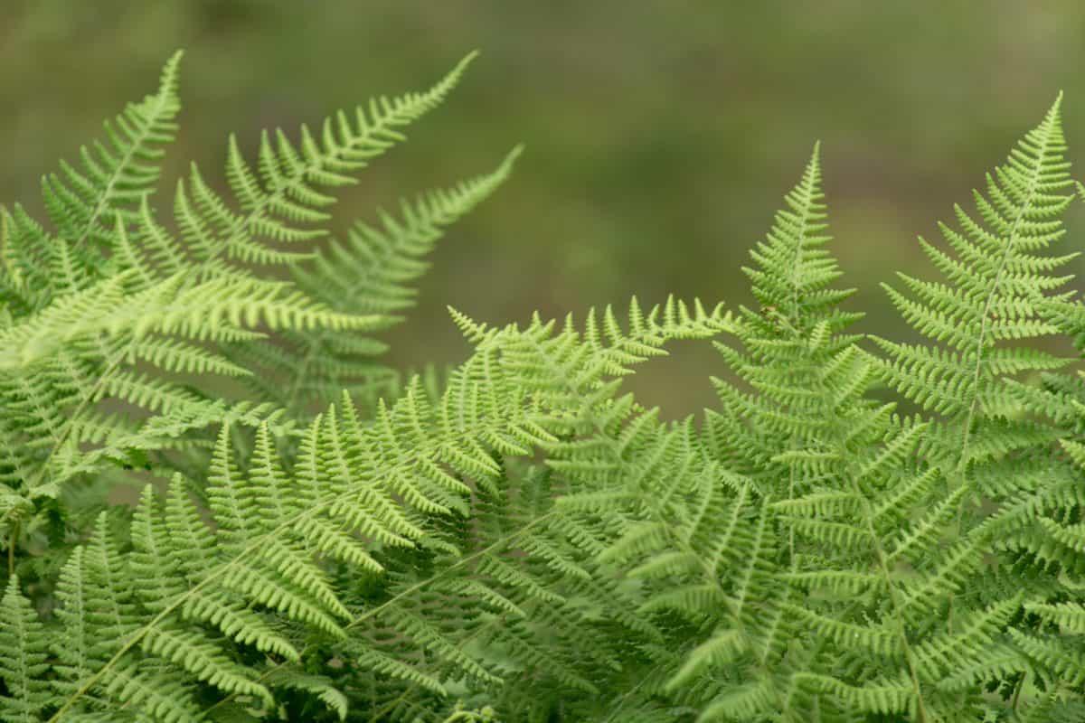 ekologi, lingkungan, pakis, alam, daun, musim panas, flora, tanaman