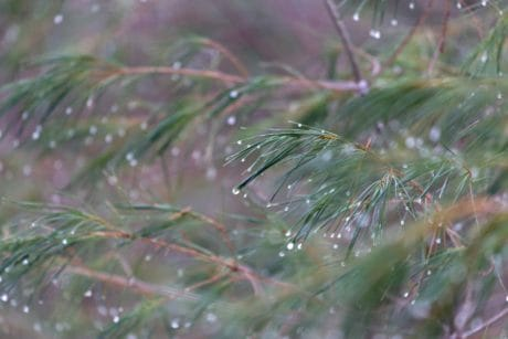 nature, conifer, pine, branch, evergreen, rain, tree, dew, winter