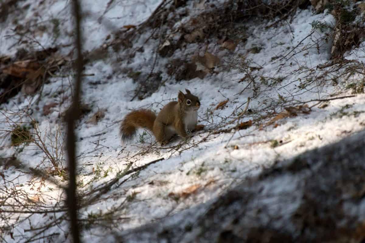 écureuil, nature, rongeur, neige, faune, arbre, hiver, bois
