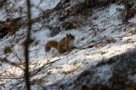 squirrel, nature, rodent, snow, wildlife, tree, winter, wood