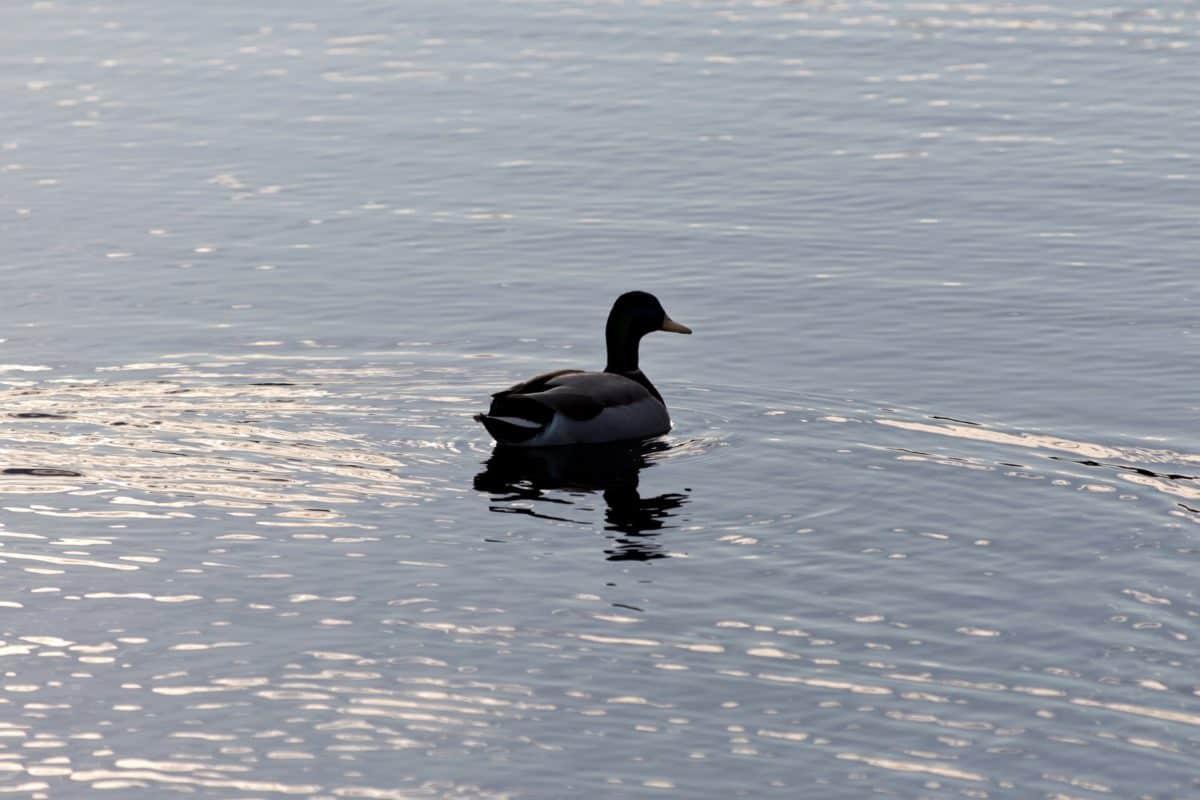 Lago hielo, pato, nieve, pájaro, invierno, aves acuáticas, agua, flora y fauna