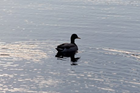 lake, ice, duck, snow, bird, winter, waterfowl, water, wildlife