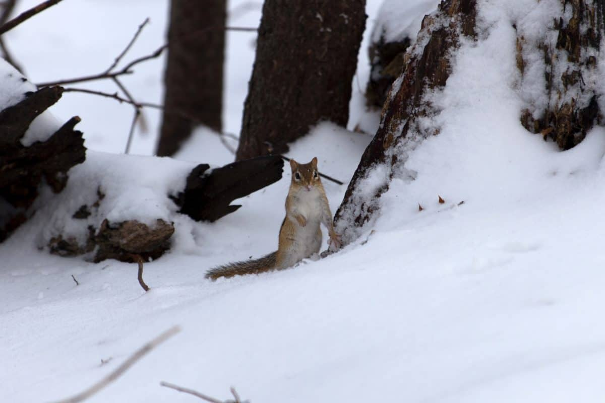 squirrel, snow, ice, frost, cold, winter, frozen, wood, landscape, forest