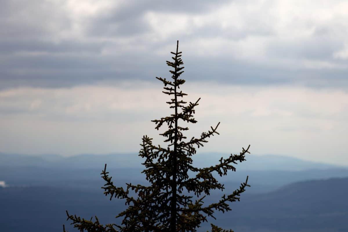 cielo, natura, paesaggio, albero, neve, all'aperto, conifere