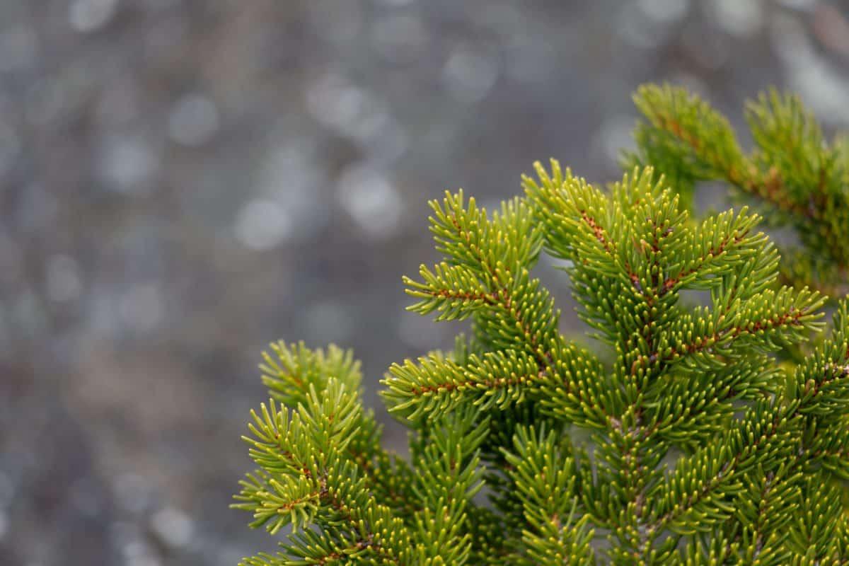 abete rosso, albero, ramo, natura, foglia, pianta, pino, all'aperto