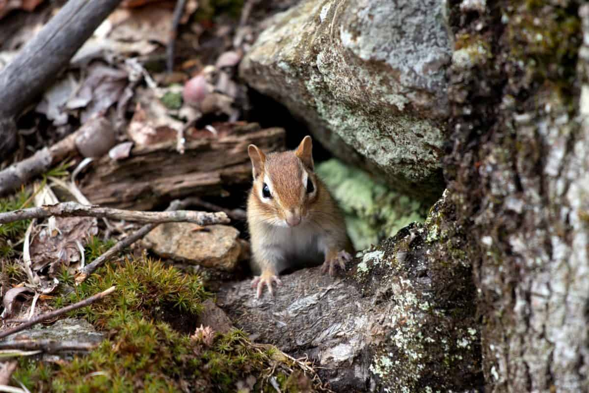boom, natuur, wildlife, hout, knaagdier, eekhoorn, dier, wild