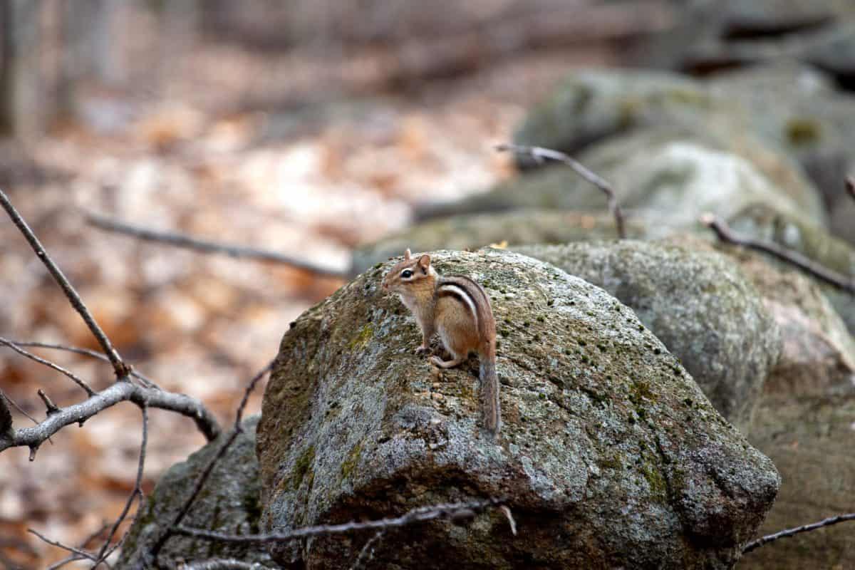 eekhoorn, dier, knaagdier, steen, landschap, natuur, outdoor